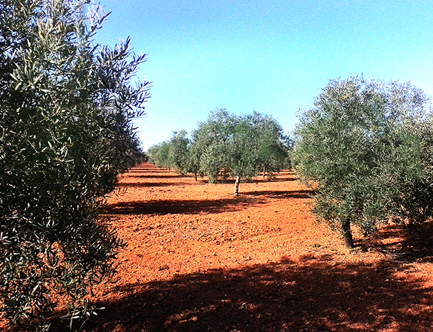 olivos-aceites-cassiopea